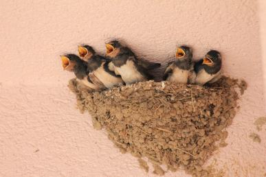 Baby swallows ing nest a