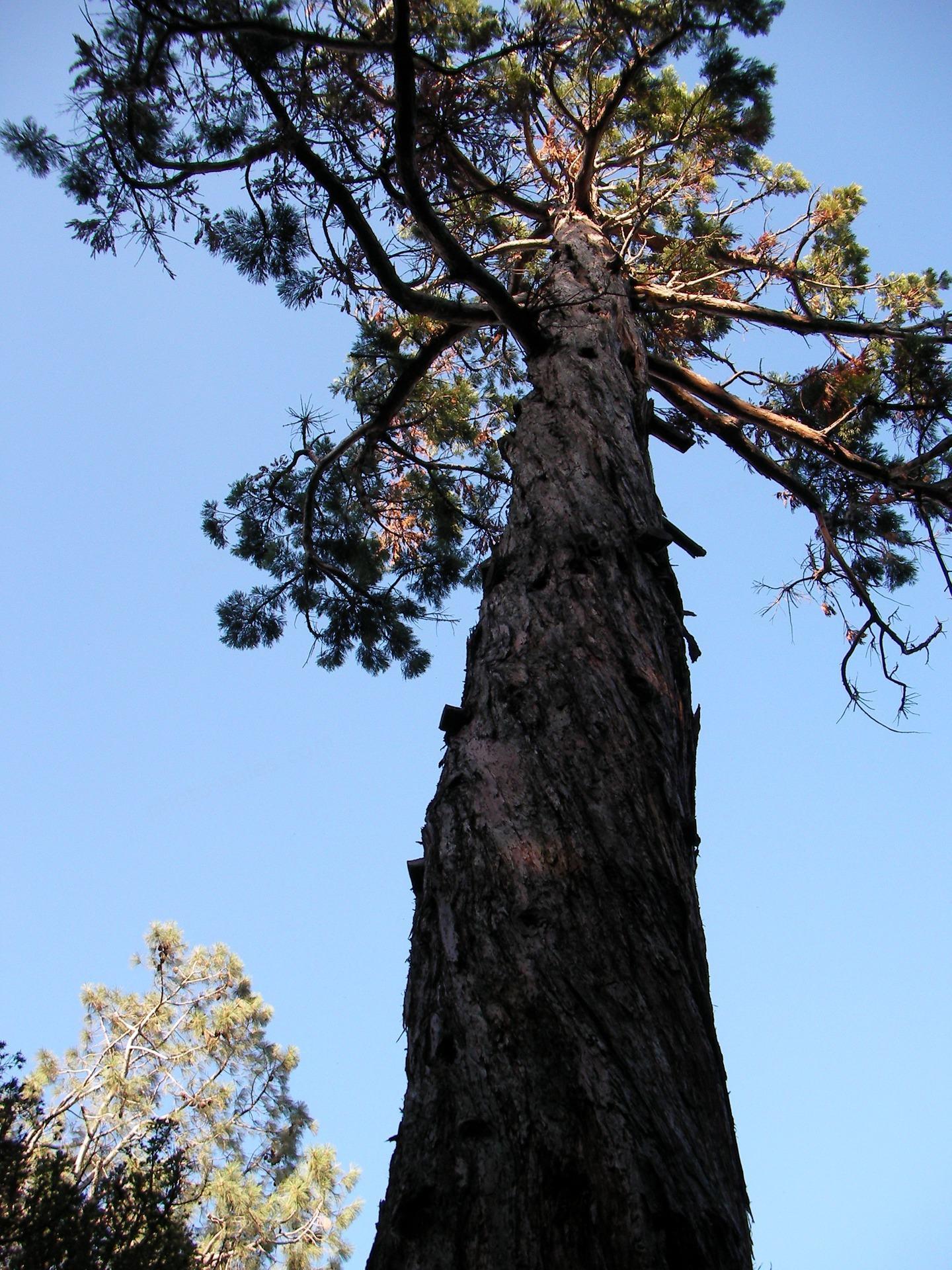 ਵੱਡੇ Pine