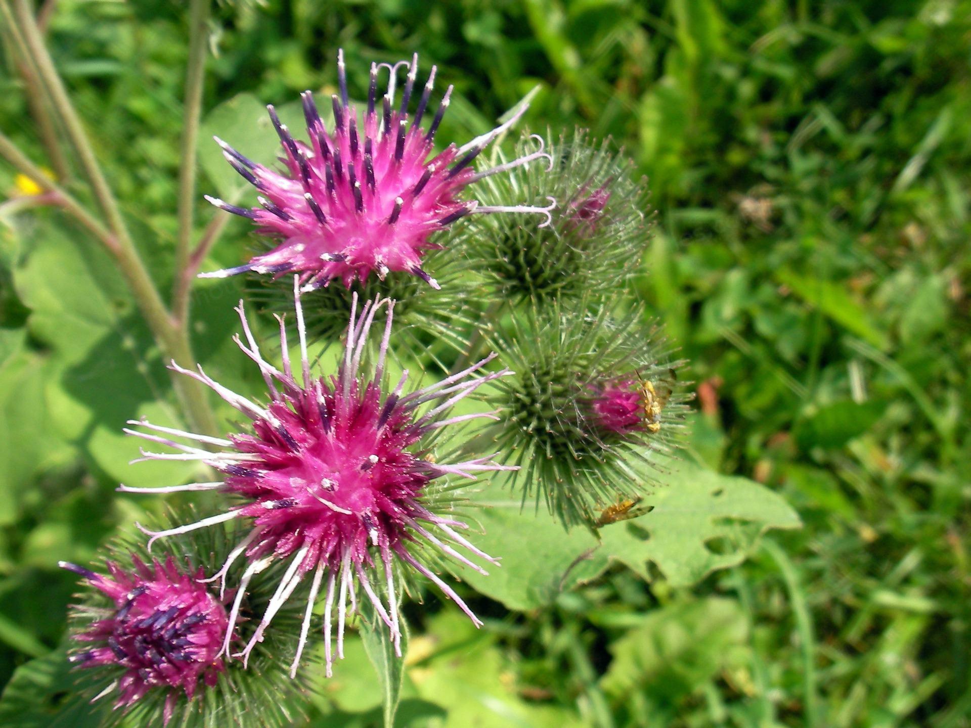 Burdock फूल