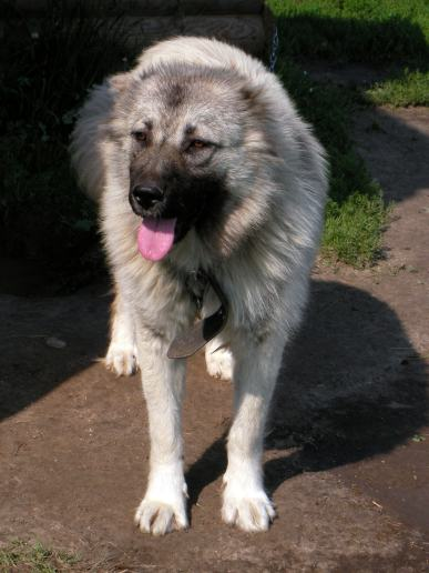 Kaukasiska Shepherd Dog