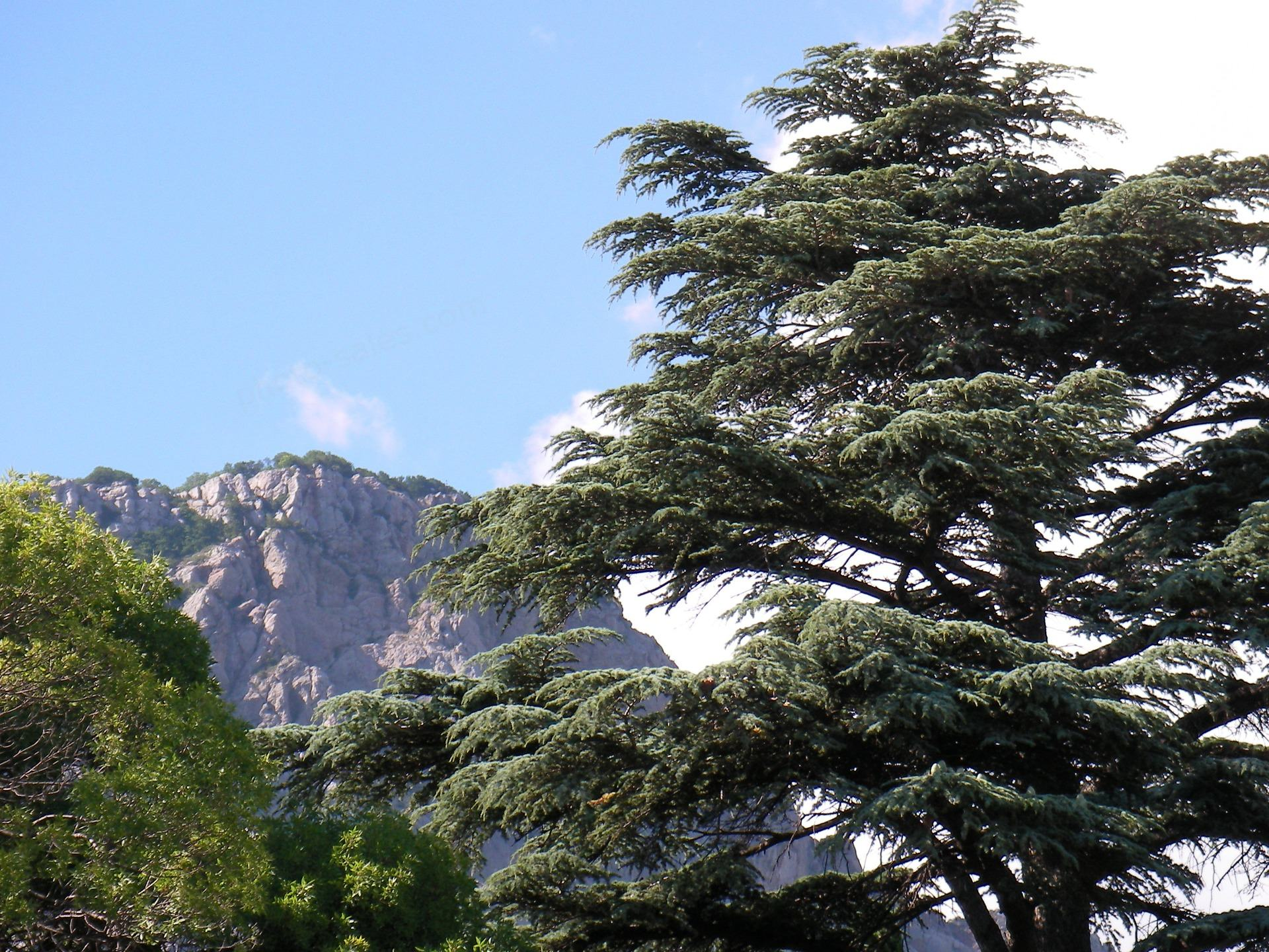Cedar on the Southern coast of Crimea