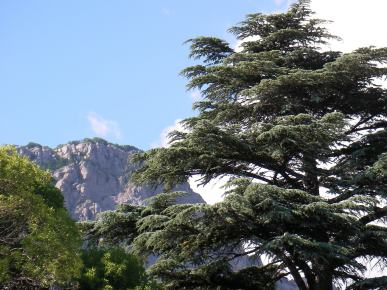 Cedar on the Southern coast of Crimea