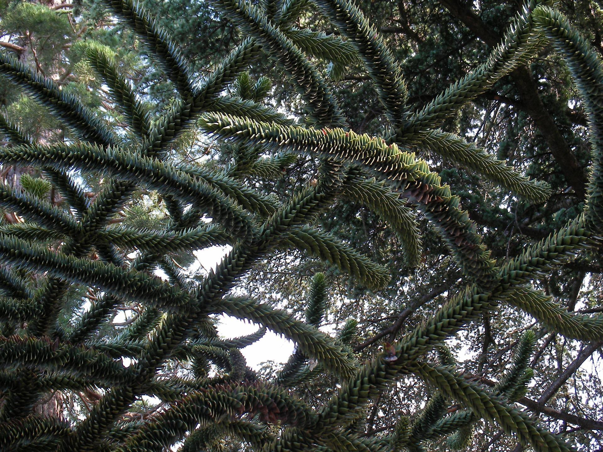 Chilian pine – monkey-puzzle tree