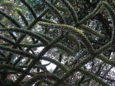Chilian pishe – tree monkey-puzzle