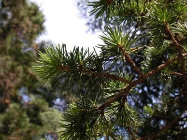 Conifer branch