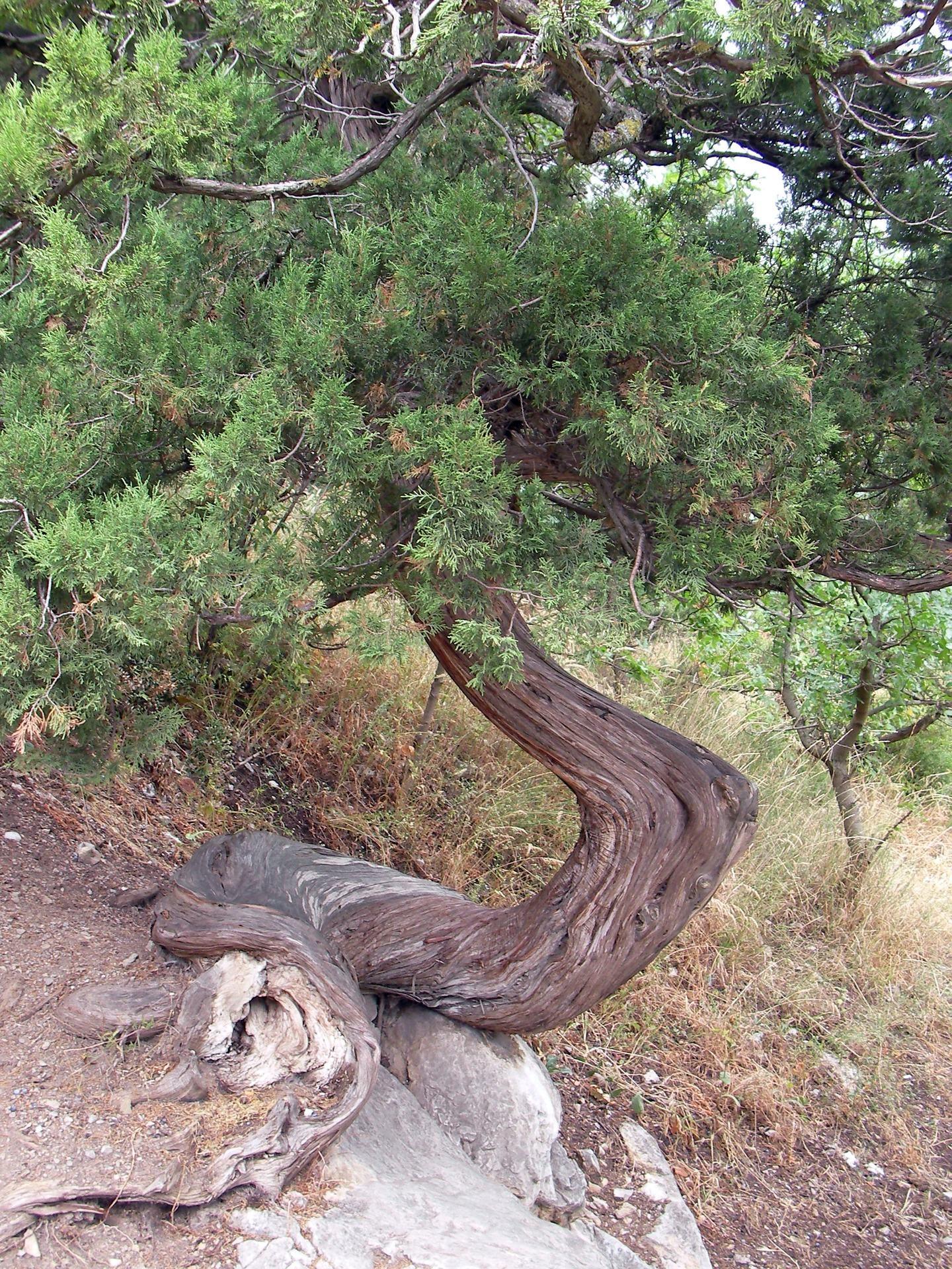 o'rash Poyasi bilan Conifer