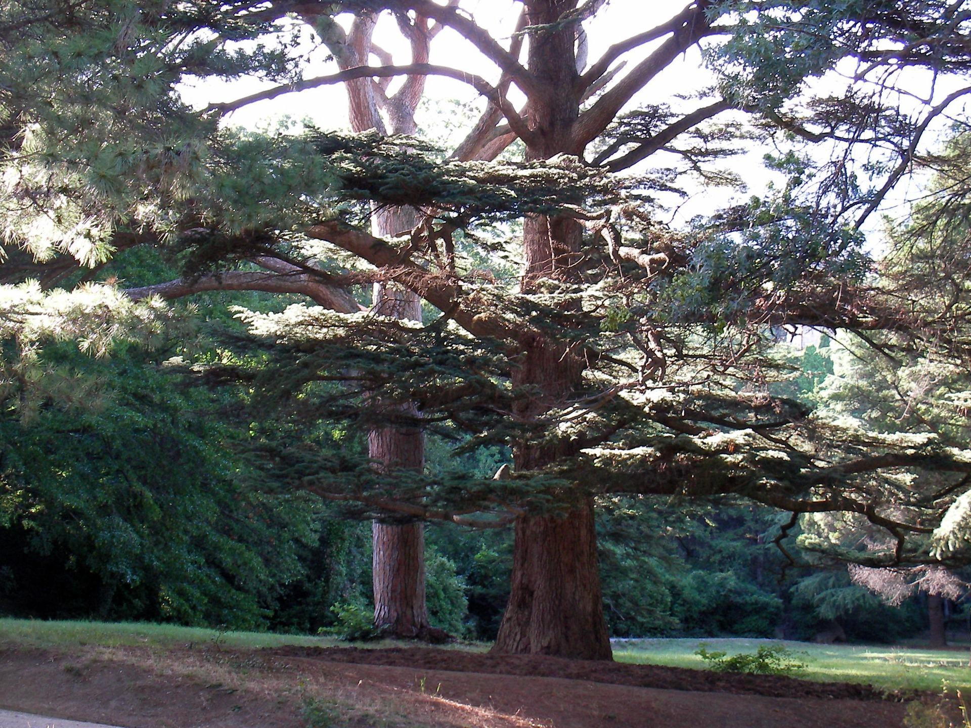 在克里米亚大针叶树