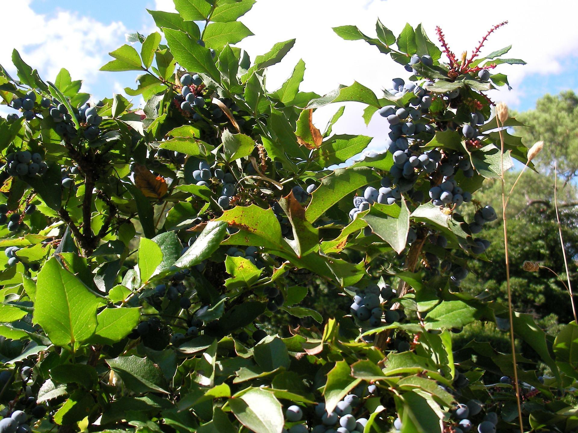 Mahonia aquifolium (ออริกอนองุ่น)