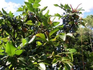 Mahonia aquifolium (Oregon rrushit)