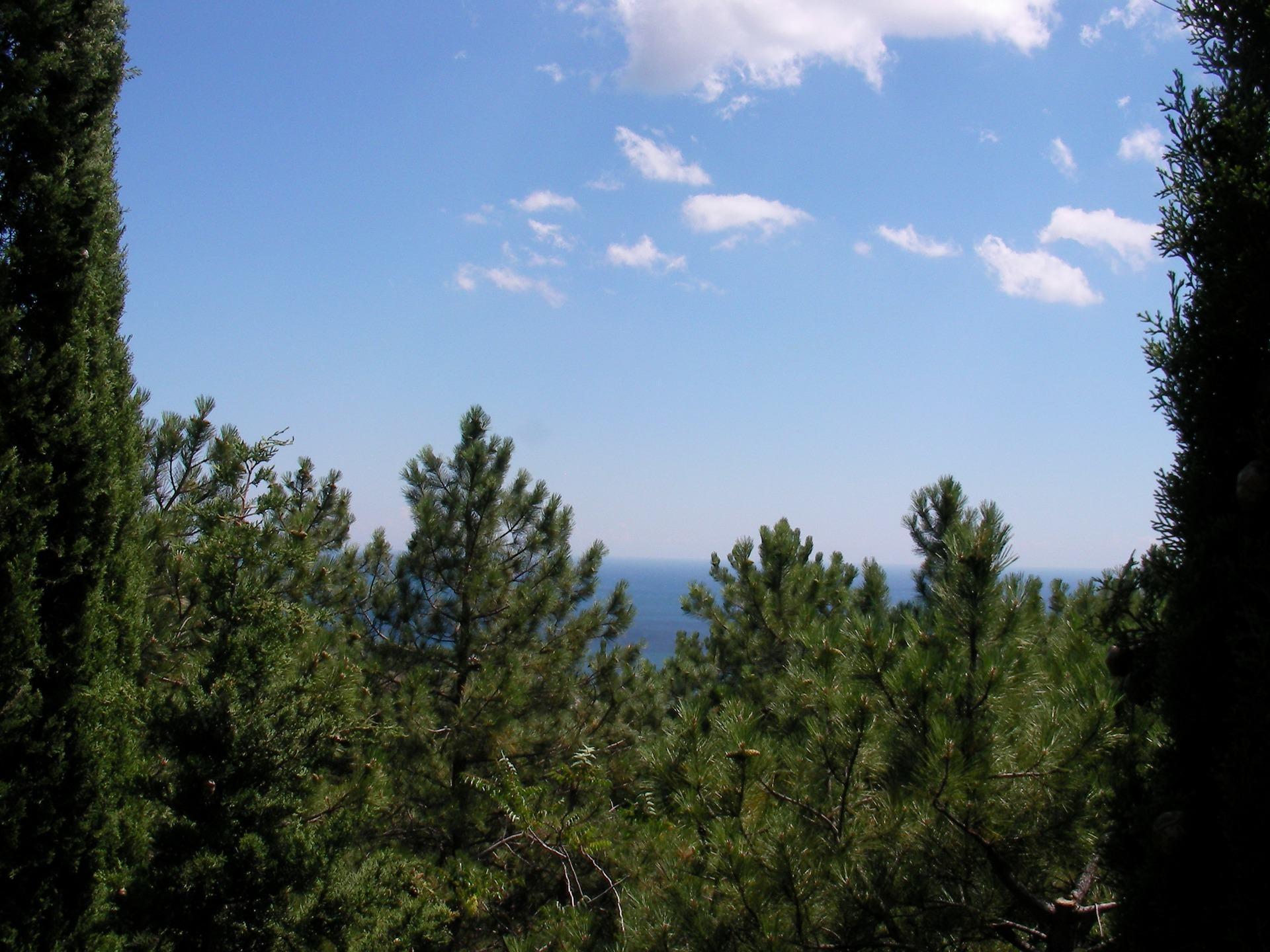 在海的背景松树和柏树