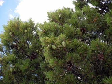 Pine қалпақтар