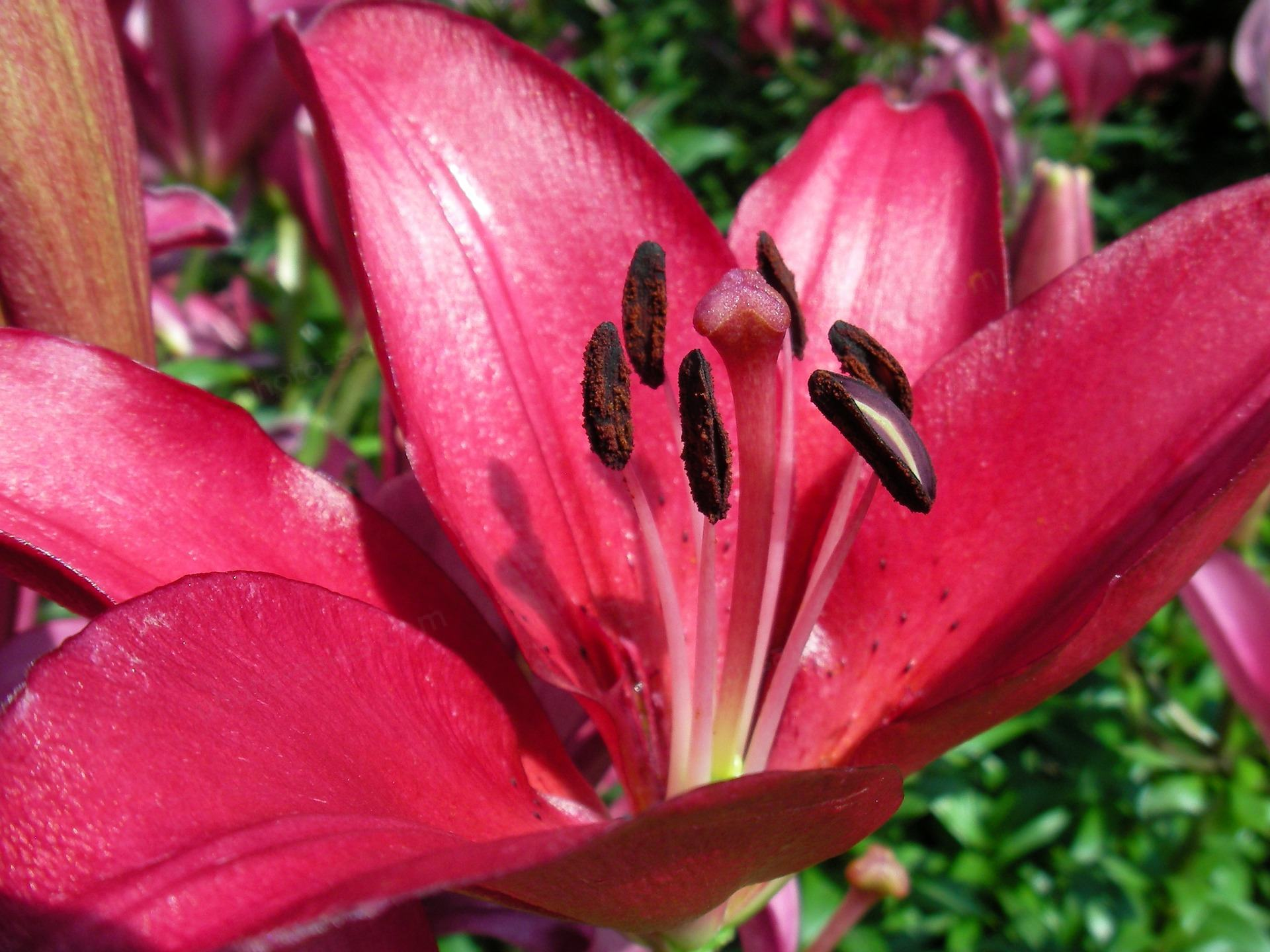 lily Ungu close-up