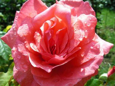 Rode roos met morning dew