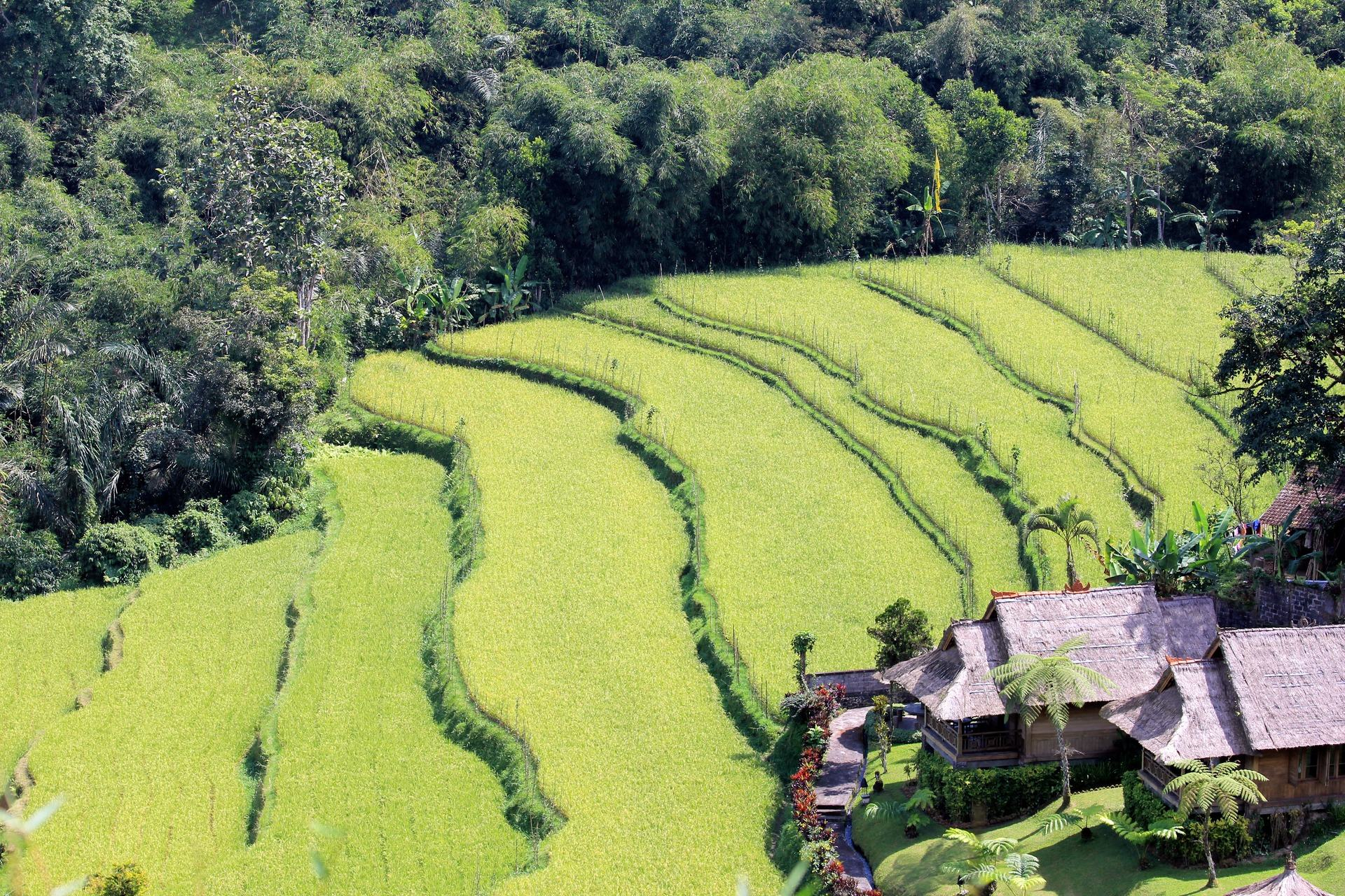 Pole ryżu w Bali, Indonezja. Zielony krajobraz.