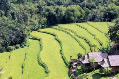 fushë oriz në Bali, Indonezi. peizazh të gjelbër.