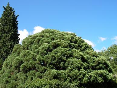 Salix fragilis سے