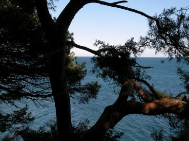 πεύκα θάλασσα