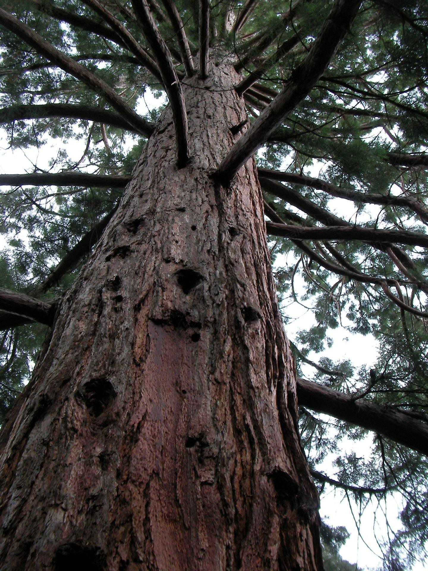 कॅलिफोर्नियातील एक उत्तुंग वृक्ष