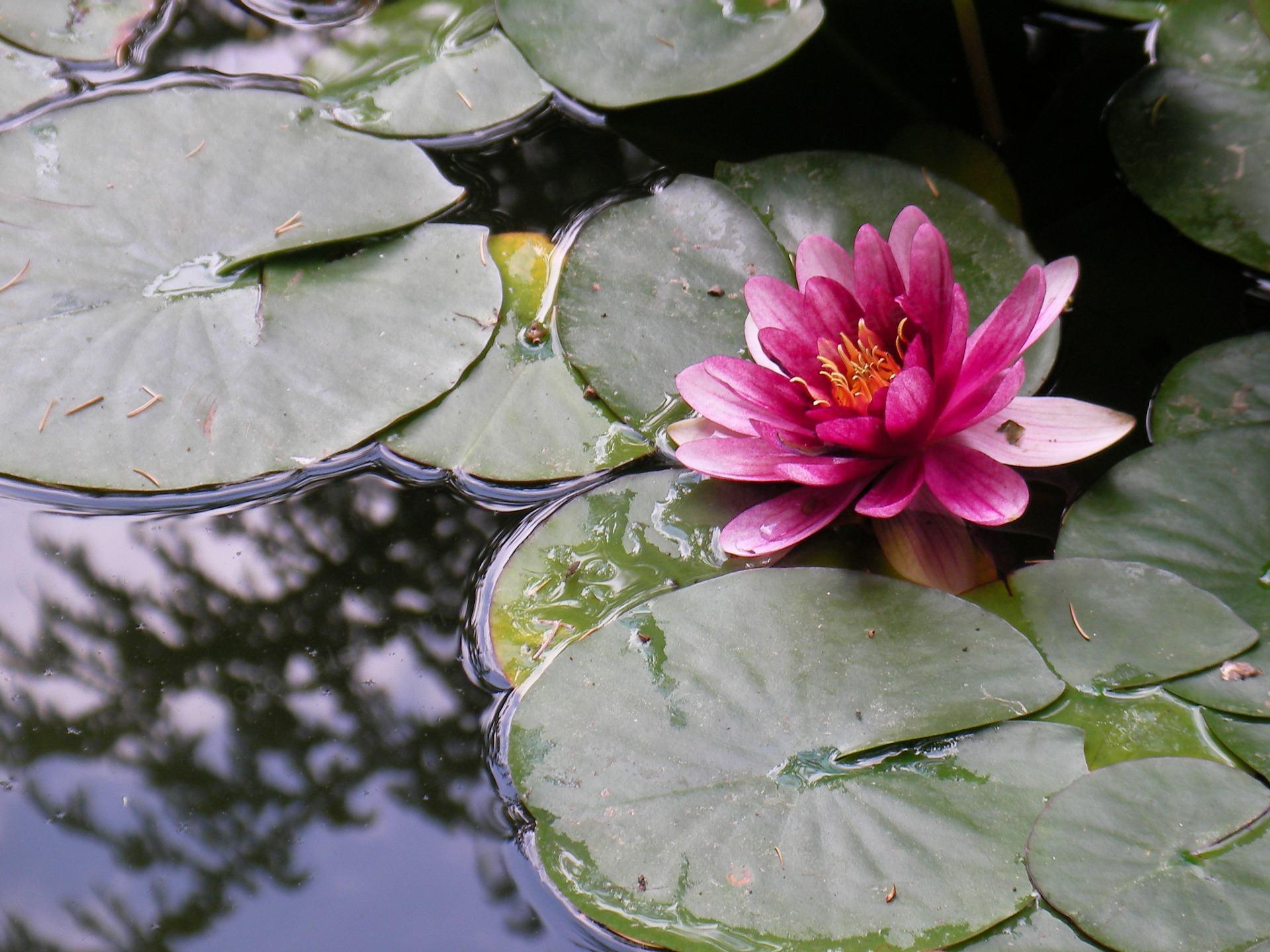 ਪਾਣੀ ਦੀ Lily