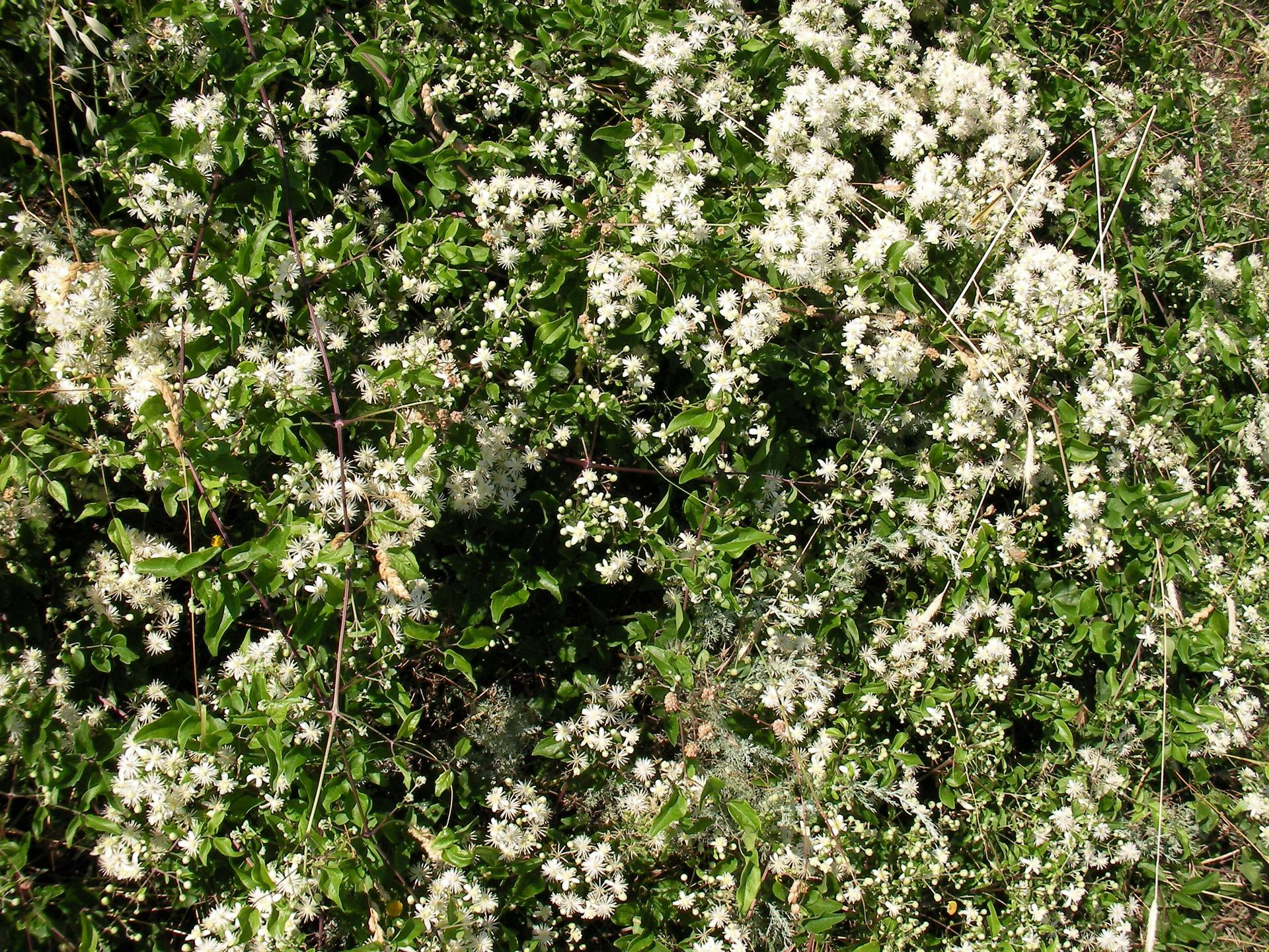 سفید پھول