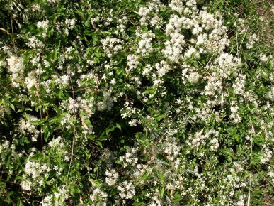 baltos gėlės