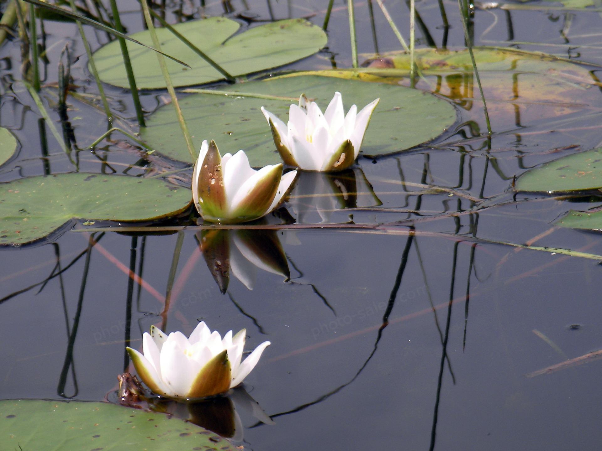 Balta vandens lelija
